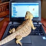 Bearded dragon on a laptop computer.