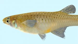 The tiny gambusia, also known as a mosquito fish.